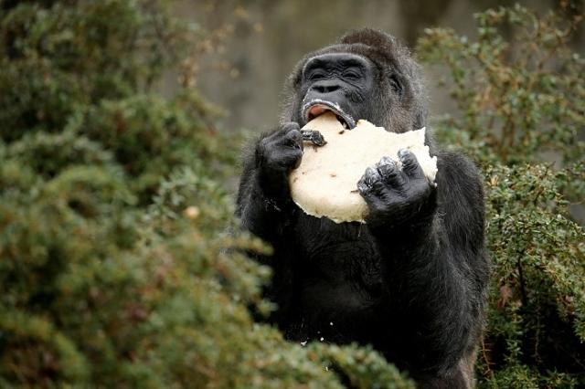 Сотрудники зоопарка приготовили своей любимице специальный праздничный торт.