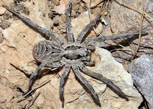 Испанский тарантул
