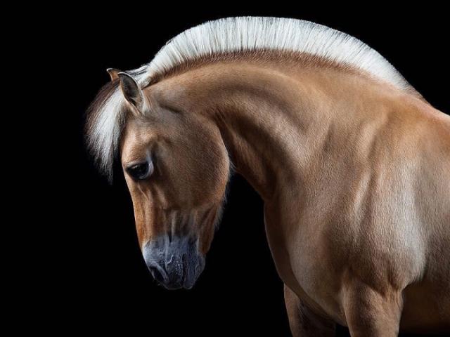 Портреты лошадей демонстрируются в галереях и на телевидении. Автор: Wiebke Haas.