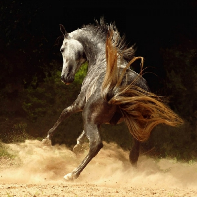 Преданность арабской лошади необходимо заслужить.