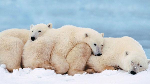 где живет белый медведь