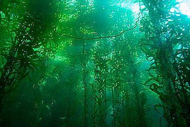 Лес ламинарий
