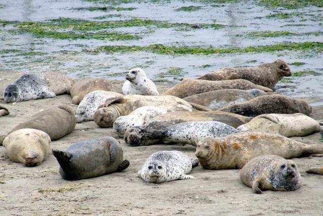 Все тюлени - колониальные животные.
