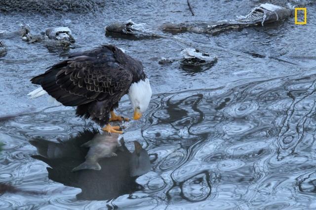 Молодой орел охотится на рыбу