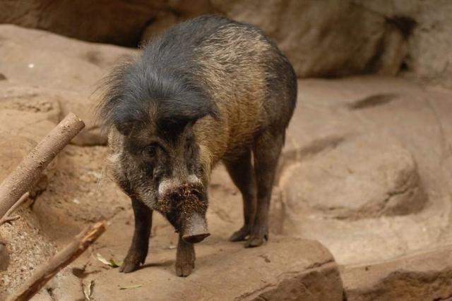 У висайских бородавчатых свиней очень интересный внешний вид.