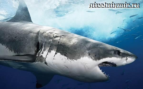 Большая-белая-акула-Образ-жизни-и-среда-обитания-большой-белой-акулы-8