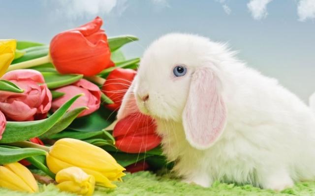 Белый кролик тюльпаны