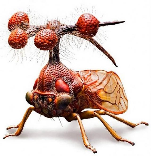 Горбатки – небольшие насекомые, главной особенностью которых являются невероятной формы выросты на спине.