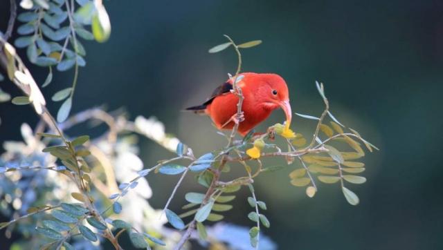 Гавайские цветочницы подвержены птичьей малярии - болезни, которая является причиной снижения численности этих ярких пташек.