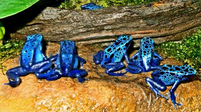 Часто голубых древолазов можно увидеть в зоопарках.