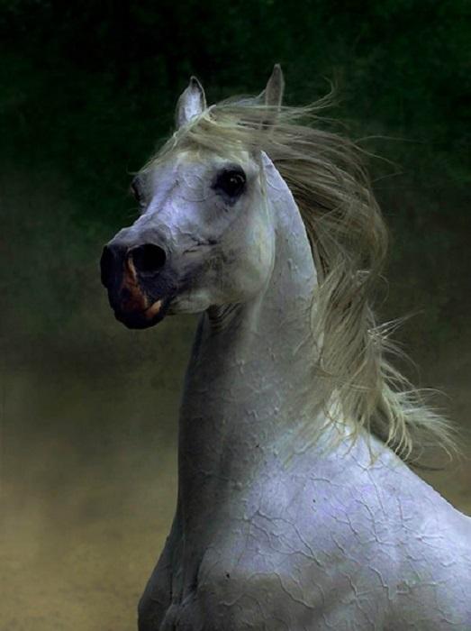 Арабские лошади – герои военных сражений и победители спортивных соревнований.