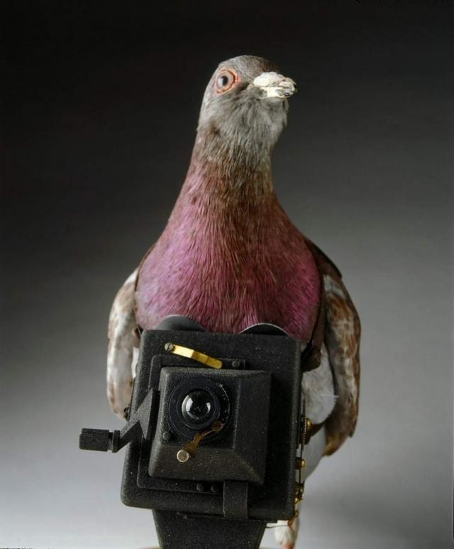 Почтовый голубь с приспособлением для фотосъемки.