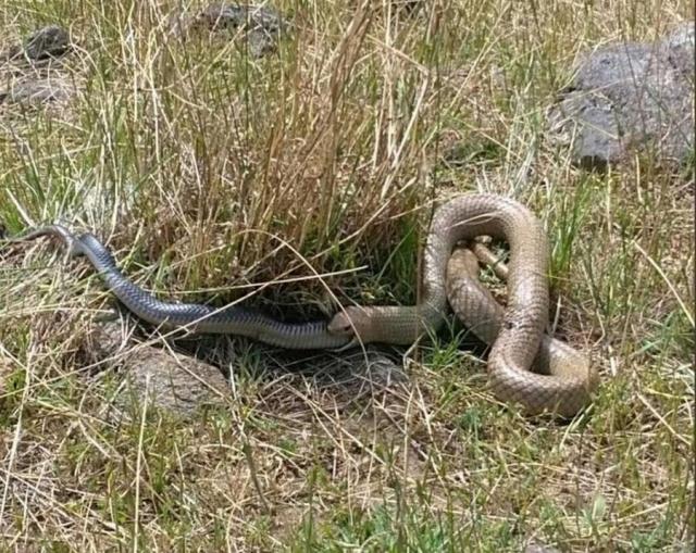 Австралия : Коричневая змея съела черную
