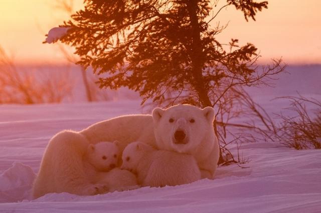 Кроме того, канадскому фотографу пришлось провести 117 часов недалеко от берлоги полярной медведицы.