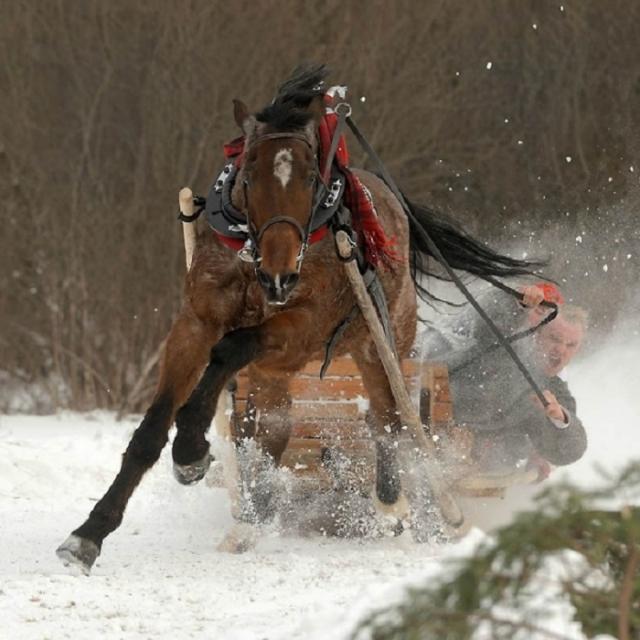 Арабская лошадь является одной из самых древних верховых пород.