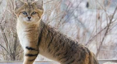 Малоизвестные дикие кошки, которые могут вскоре исчезнуть. Фото