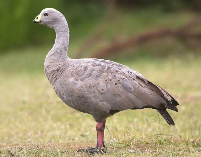 Куриный гусь имеет однотонное оперение светло-серого цвета