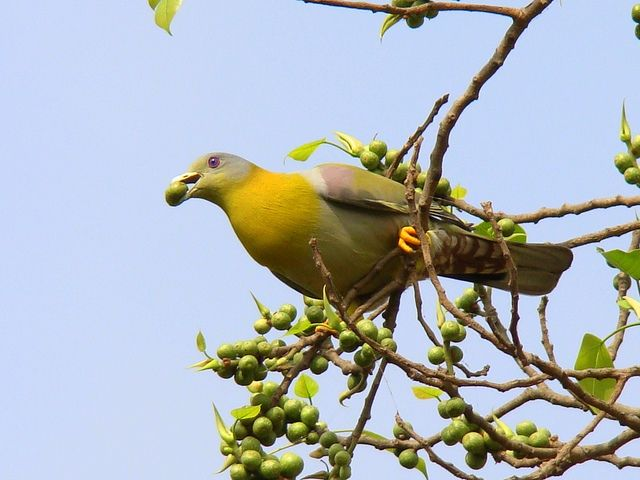Желтоногий зеленый голубь (Treron phoenicopterus)
