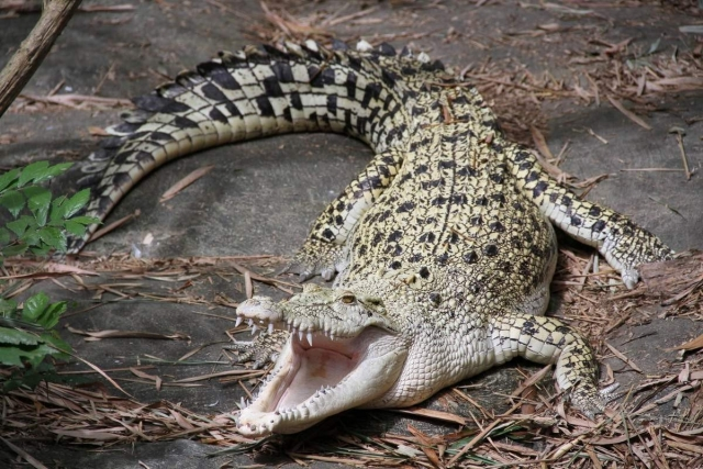 Гребнистый крокодил - очень крупный хищник.