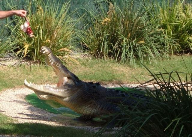 Гребнистый крокодил способен съесть и человека.