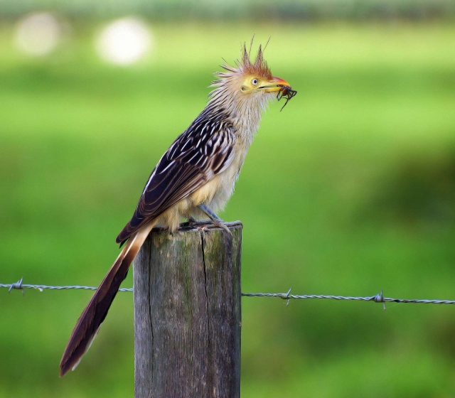 Гуира - хищная птица, которая не прочь полакомиться чужими птенцами и яйцами.