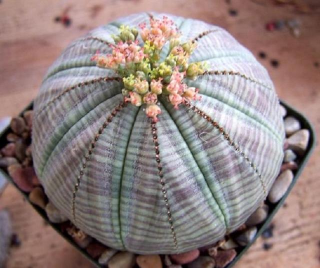 Экзотическое зеленоватое растение очень часто путают с кактусом, хотя колючек у него нет.