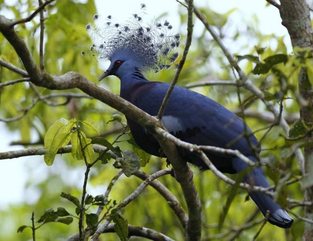 Венценосные голуби ведут оседлый образ  жизни.