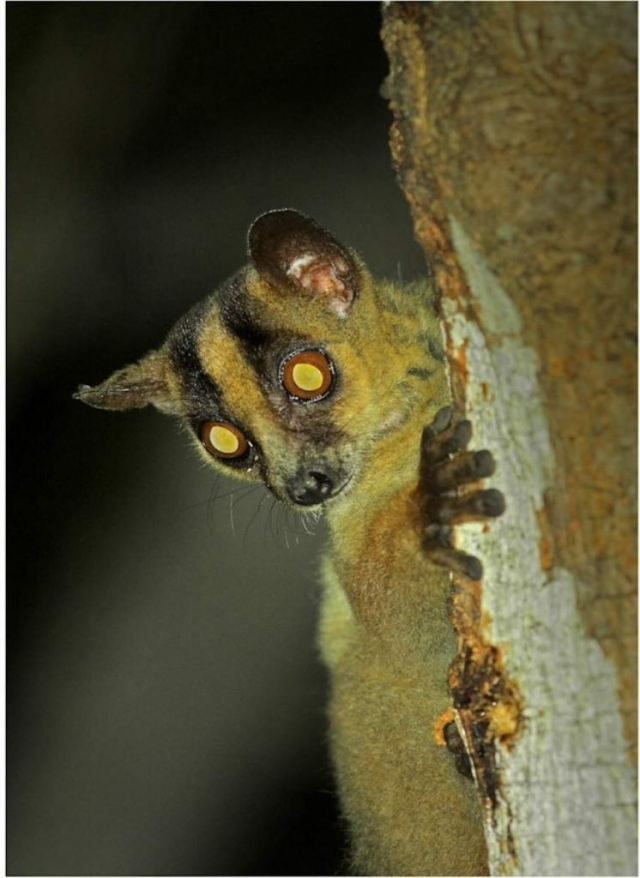 Распространен по северному и западному побережью Мадагаскара.