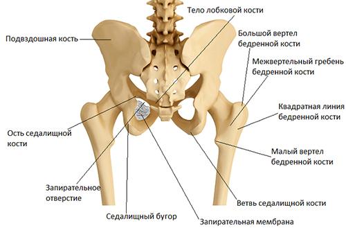 строение таза человека, тазобедренный суств, скелет, кости