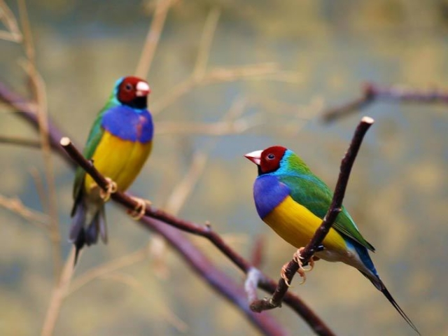 Ареал распространения тропические леса и саванны Северной Австралии.