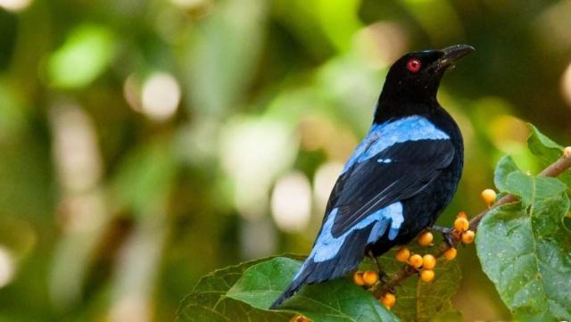 Самец голубой ирены участвует в выкармливании птенцов.