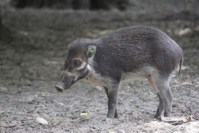 Возможно, висайская бородавчатая свинья встречается также на Масбате.