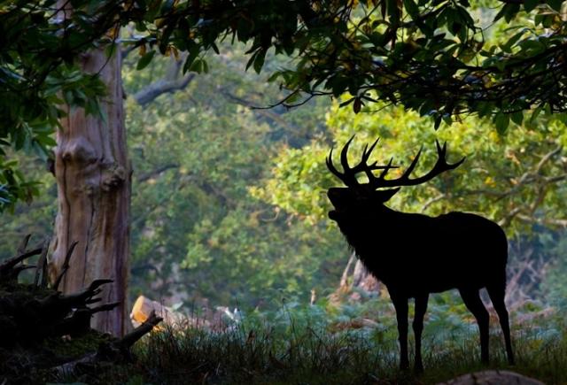 Благородный олень скрывается среди тени деревьев. Фото: Sam Coppard.