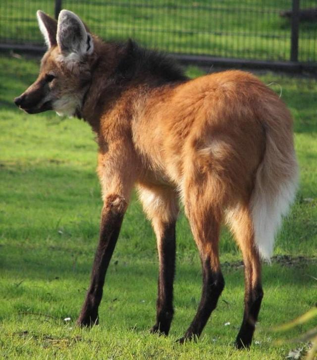 Гривистый волк - самый крупный представитель семейства псовых в Южной Америке.