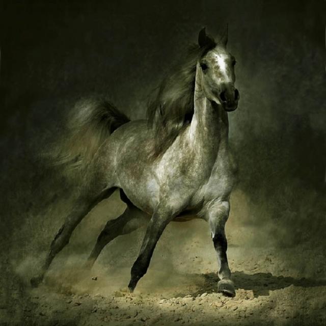 Историю возникновения арабской породы лошадей окутывают многочисленные мифы и легенды.