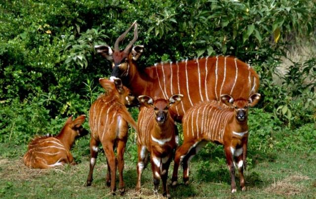 Взрослые самцы антилоп бонго предпочитают одиночество, самки с молодыми и телятами образуют небольшие группы.