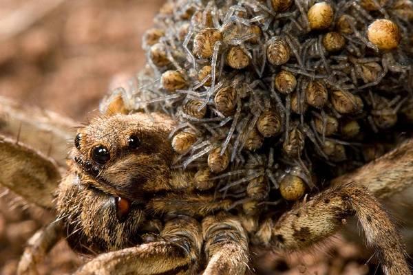 самка тарантула