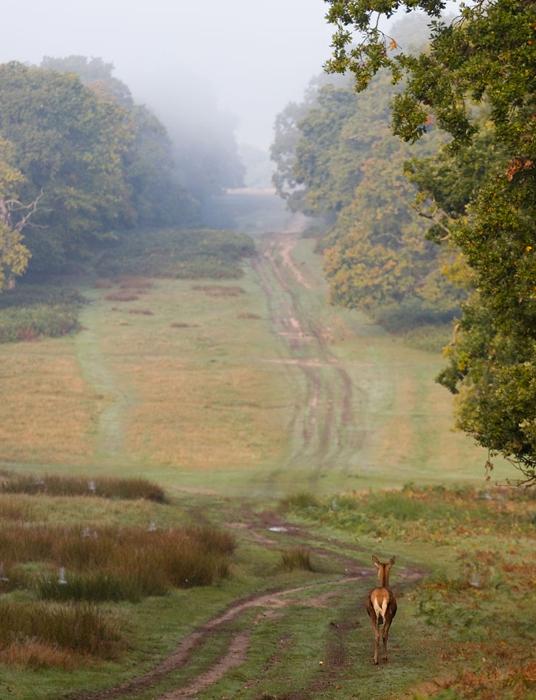 Олень, идущий по старой дороге. Фото: Sam Coppard.