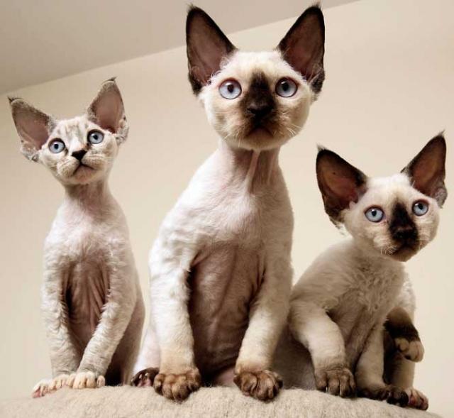 Фото: Удивительная порода кошек девон-рекс (Фото)