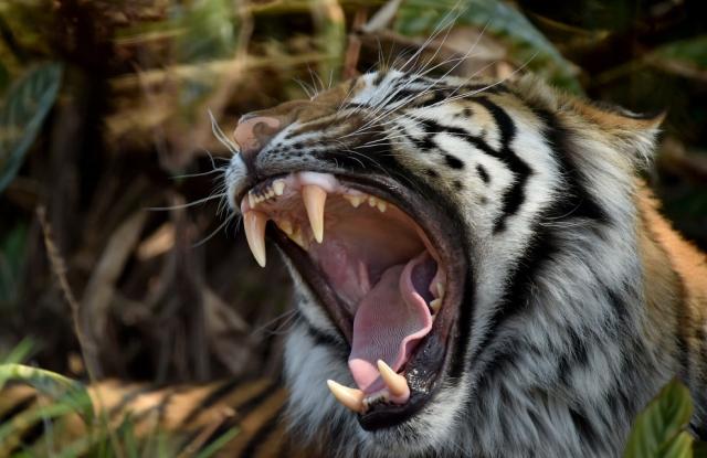 Клыкастый суматранский тигр в зоопарке Таронга в Сиднее