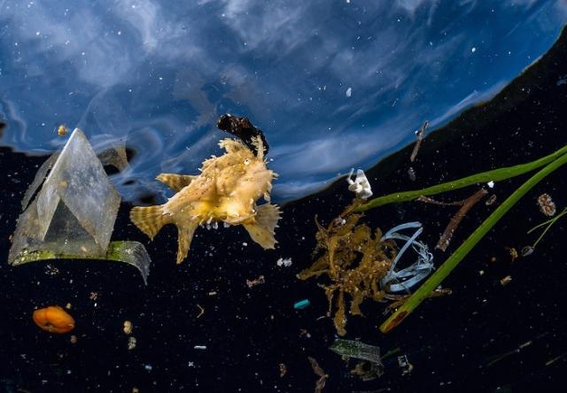 Рыба семейства клоуновых в водах Тихого океана неподалеку индонезийского архипелага Раджа-Ампат. Автор фотографии: (Greg Lecoeur), Грег Лекер, Франция.