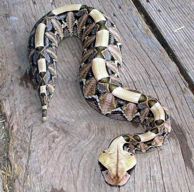 У габонской гадюки необыкновенны окрас, который помогает змее маскироваться.