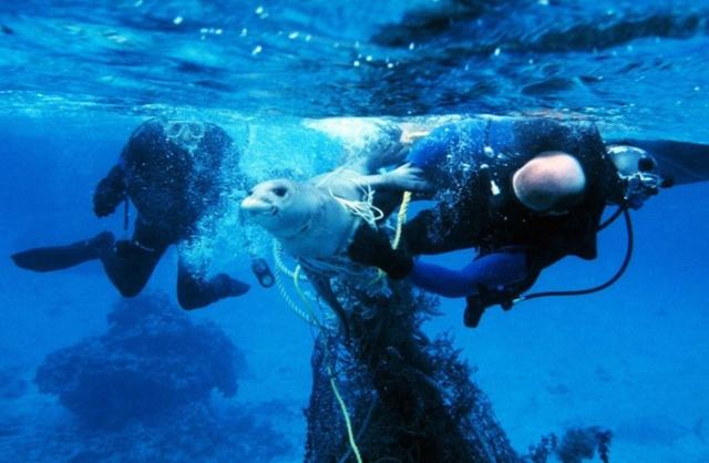 Дайверы освобождают тюленя от пластиковой сети, которая может привести к смерти животного. Фото: NOAA.