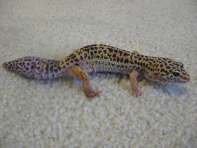 1024px-Leopard_gecko_with_new_tail.JPG