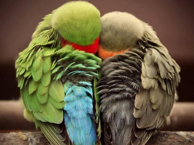 Очень красивая игривая маленькая птичка, способная к имитации человеческой речи.