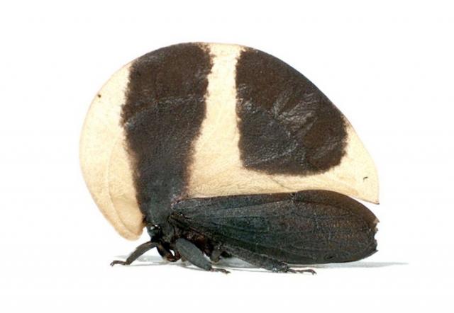 Горбатка получила свое название благодаря необычной форме своего тела