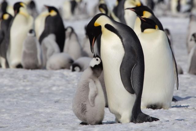 В Антарктике появились новые колонии императорских пингвинов.Вокруг Света. Украина
