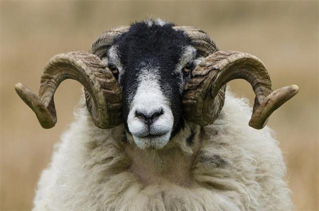 Овца породы свейлдейл (swaledale) адаптирована для жизни в суровых погодных условиях, поэтому обладает белой толстой шерстью и завитыми рогами.