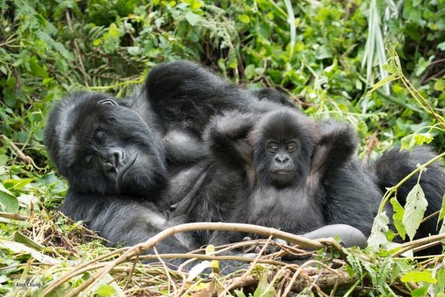 Семья горных горилл