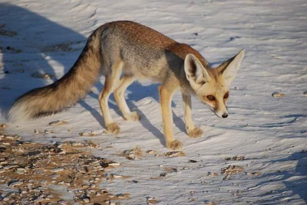 Песчаная лисица